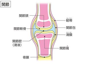 ひざ関節 図説